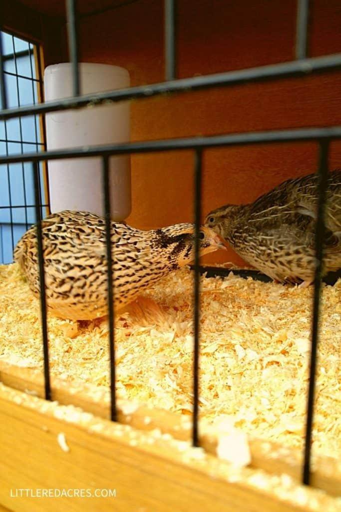 Advantages of Raising Quail - two quail in cage