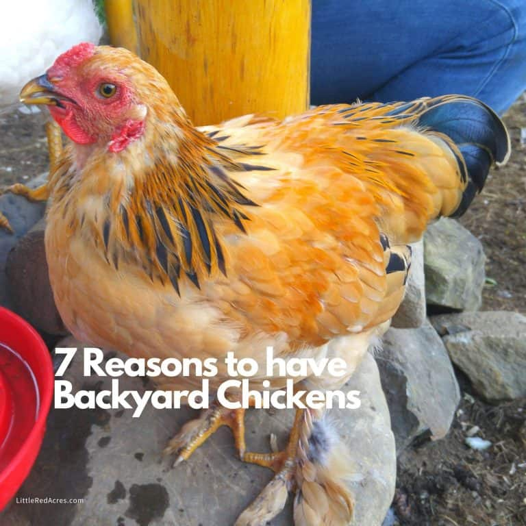 7 Reasons to Have Backyard Chickens