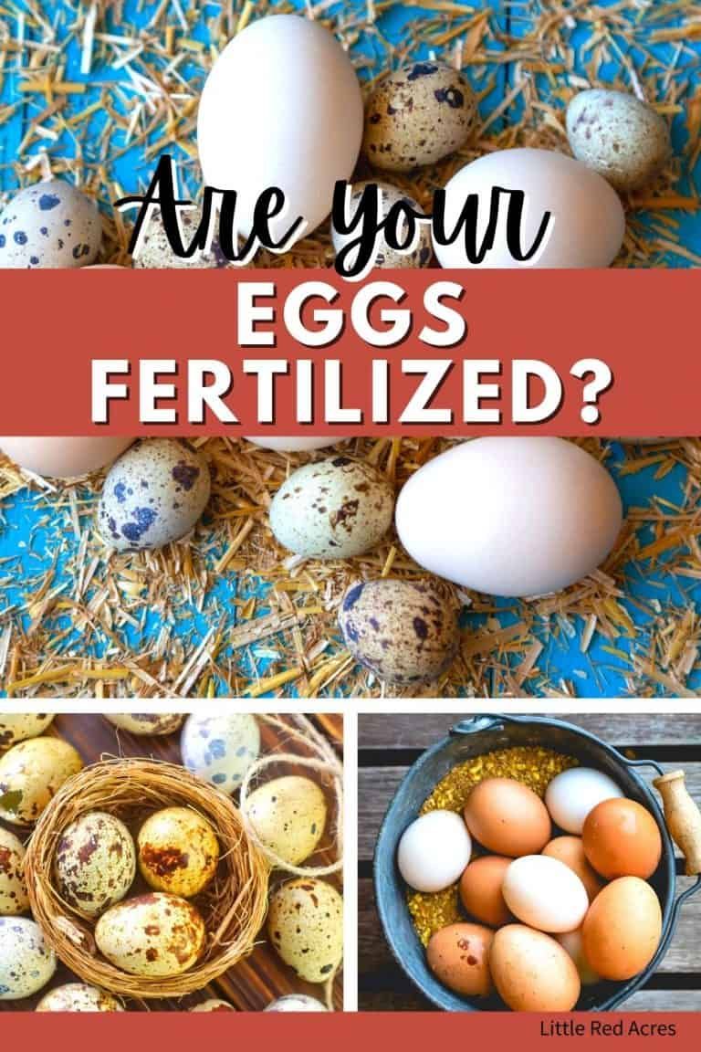 How to Tell if Eggs are Fertilized