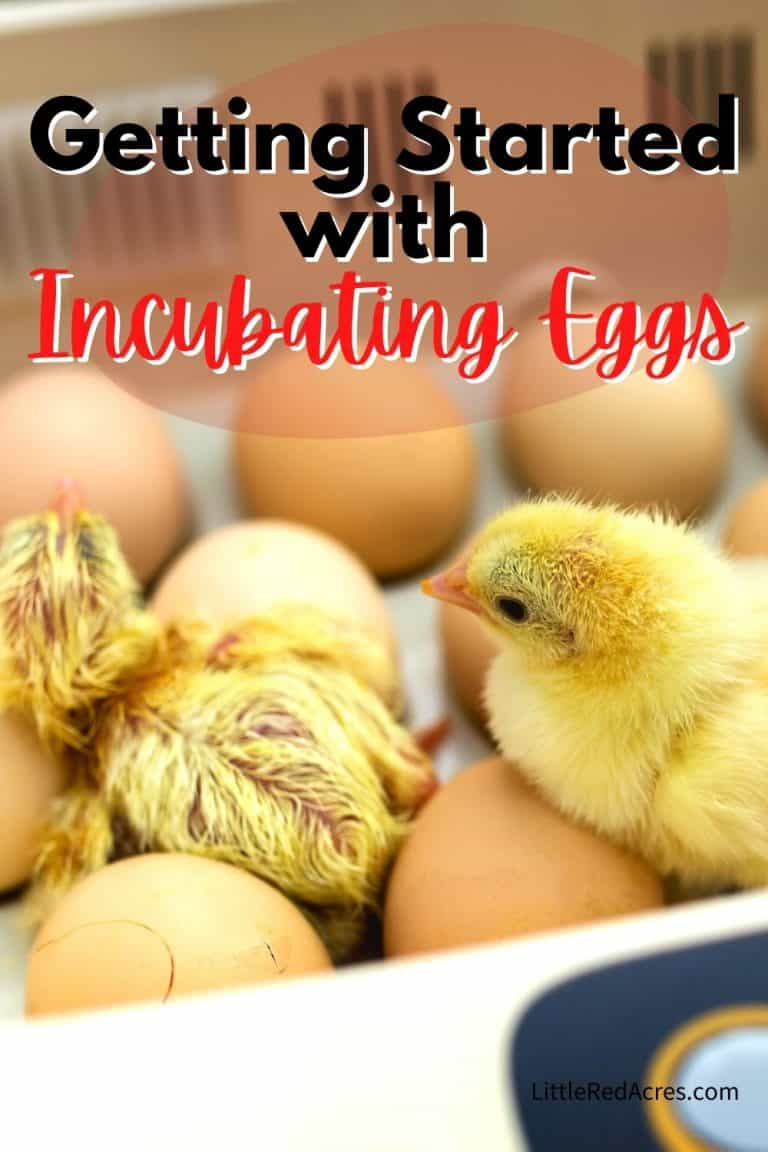 Getting Started with Incubating Eggs