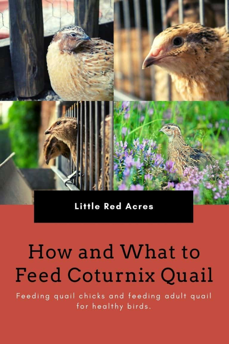 How and What to Feed Coturnix Quail