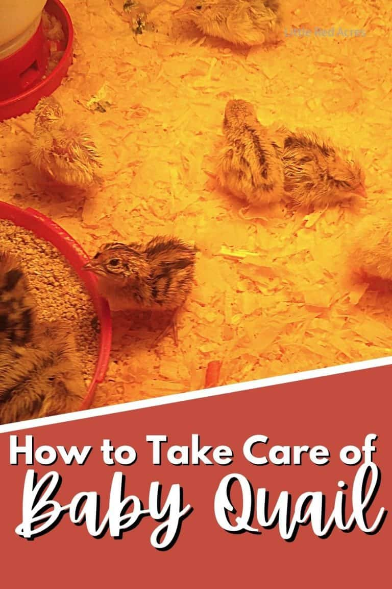 How to Take Care of a Baby Quail