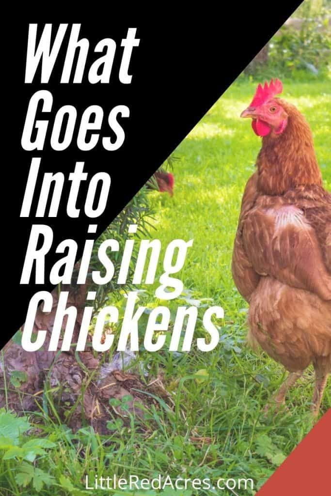 What Goes Into Raising Chickens - chicken in yard with text overlay