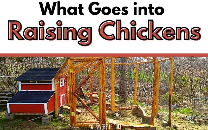 What Goes Into Raising Chickens - image of chicken coop with text overlay