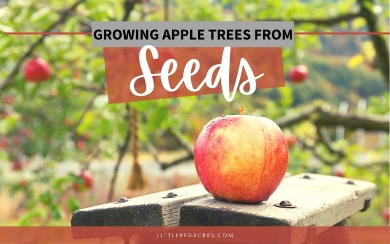 Growing Apple Trees from Seeds