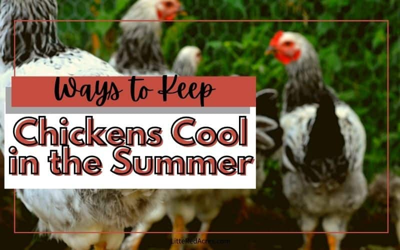 Caring for Chickens in the Summer